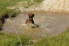 Swimming Rhodesian Ridgeback. Rhodesian Ridgeback bathes in a pool. Beautiful water stream running down coat Royalty Free Stock Image