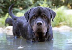Swimming rottweiler Stock Images