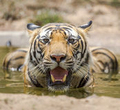 Swimming royal bengal tiger Royalty Free Stock Photos