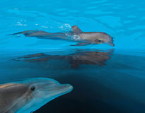 Swimming in sea  dolphins Stock Photography