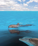 Swimming in sea dolphins Royalty Free Stock Photo