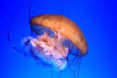Swimming sea jelly Royalty Free Stock Photo