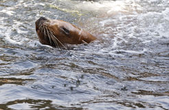 Swimming sea-lion Stock Photography