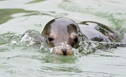 Swimming Sea Lion Royalty Free Stock Photography