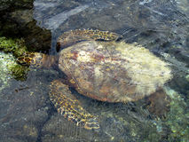 Swimming Sea Turtle Stock Photography