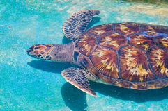 Swimming sea turtle. In clear turquoise sea water Stock Image