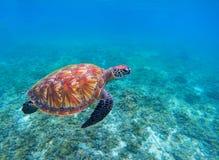 Swimming sea turtle in blue ocean closeup. Green sea turtle closeup. Endangered species of tropical coral reef. Tortoise photo. Tropic seashore. Summer travel Royalty Free Stock Photos