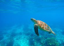 Swimming sea turtle in blue water. Sea tortoise snorkeling photo. Cute green turtle photo. Royalty Free Stock Images