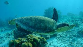 Swimming sea turtle caribbean sea underwater 1080P video. Coral life underwater video 1080p Caribbean Sea stock footage