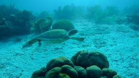 Swimming sea turtle caribbean sea underwater 1080P video. Coral life underwater video 1080p Caribbean Sea stock video