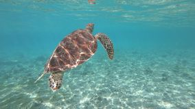 Swimming with sea turtle at the Gili Island, Indonesia. Sea turtle swimming at a beach of the Gili Islands, Indonesia stock video