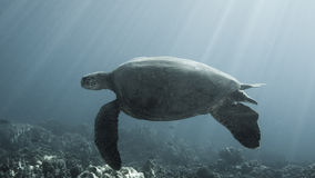 Swimming sea turtle. A green sea turtle swimming in the ocean with rays of sun filtering through the water Stock Photos