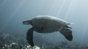 Swimming sea turtle Stock Photos