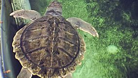 Miami Beach sea turtle. Swimming sea turtle of Miami Beach in Florida in 70`s. Historical United States of America in 1979 stock video footage