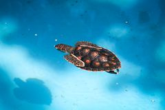Swimming sea turtle. Sea turtle swimming in a pool in Salvador, Brazil Royalty Free Stock Images