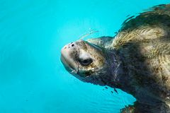 Swimming sea turtle. Sea turtle swimming in a pool in Salvador, Brazil Stock Images