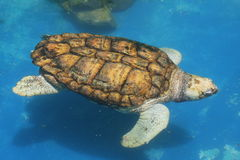 Swimming Sea Turtle. Sea Turtle swimming - Salvador, Brazil Stock Photo