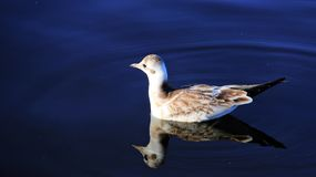 Swimming Seagull In Natural Lake. Freedom Of Living. One gull Swimming On Natural Blue Lake Happiness And Freedom of wildlife In summertime.Germany stock photo