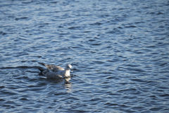 Swimming seagull. Seagull swims on the water Royalty Free Stock Images