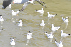 Swimming seagull Royalty Free Stock Images