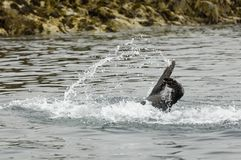 Swimming seal. At the Farne Islands Stock Photo