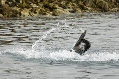 Swimming seal Stock Photo