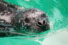 Swimming seal. Seal swimming in a water Stock Photo
