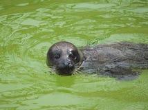 Swimming seal royalty free stock photos