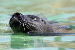 Swimming seal. A close up of a seal as it swims with its head just above water Royalty Free Stock Image