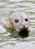 Swimming Seal Royalty Free Stock Photography