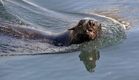 Swimming seal. Cape fur seal (Arctocephalus pusilus). Royalty Free Stock Photo