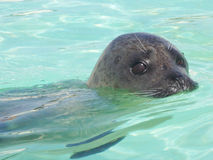 Swimming seal Stock Photo
