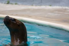 Swimming seal lion Royalty Free Stock Image