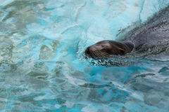 Swimming Seal Royalty Free Stock Image