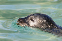 Swimming seal Stock Images