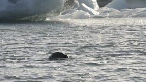 Swimming Seal Royalty Free Stock Image