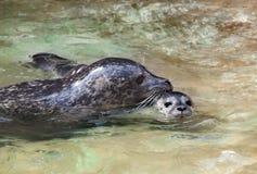 Swimming seals Royalty Free Stock Photo
