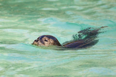 Swimming seals Royalty Free Stock Photo