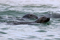 Swimming Seals Royalty Free Stock Images