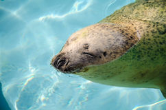 Swimming seals in the zoo Stock Photography