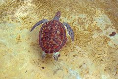 swimming seaturtle Royalty Free Stock Images