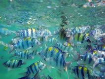 Swimming sergeant major fish Royalty Free Stock Photos