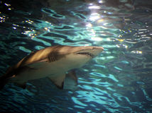 Swimming shark Stock Image