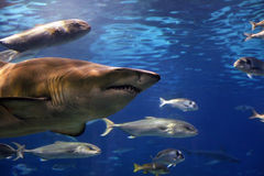 Swimming shark Stock Photos