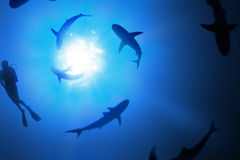 Swimming with Sharks. Sharks and a scuba diver swimming in a spiral