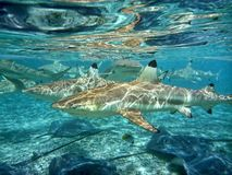 Swimming With Sharks! Royalty Free Stock Photo