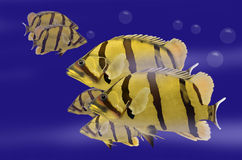 Swimming siamese tigerfish. In blue water Royalty Free Stock Photo