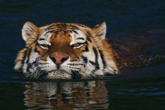 Swimming Siberian tiger Royalty Free Stock Photography