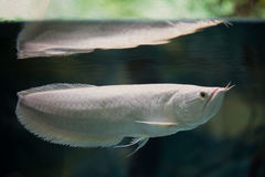 Swimming silver arowana. White color tropical fish. Aquarium tank surface. soft focus, vintage paper textured background Stock Image