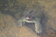Swimming Snapping Turtle. A snapping turtle (Chelydra serpentina) lazy swim Royalty Free Stock Photography